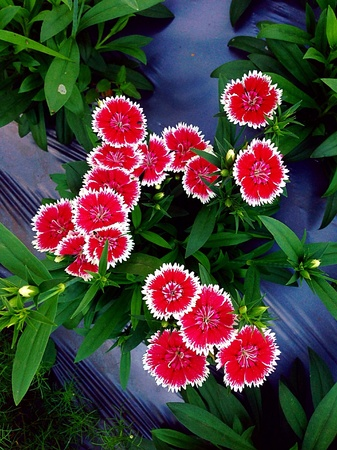 red pink: Red pink flowers