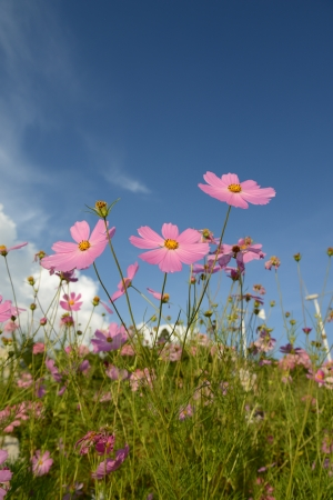 flowery: cosmos flor Foto de archivo