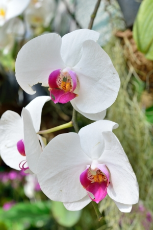 thai orchid: Beautiful orchid  Stock Photo