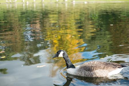 hyde: Ducks in Hyde Park