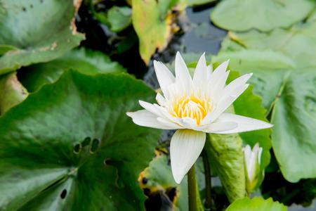 nelumbo nucifera: lotus flower or water lily floating Stock Photo
