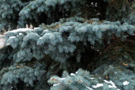 pine needles close up: Close up of snow on trees