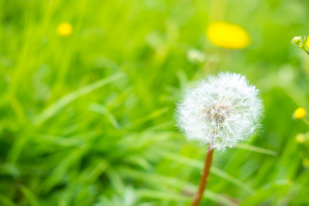 Close up of Dandelion in the field Stock Photo