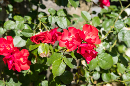Close up of Red Flowers with blur background.