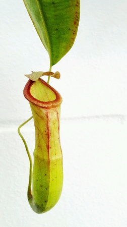 nepenthes: Nepenthes pitcher plant Stock Photo
