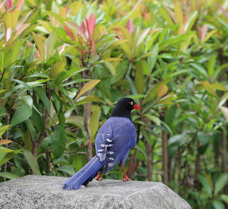 formosa blue magpie perch on the rock - Urocissa caerulea  photo