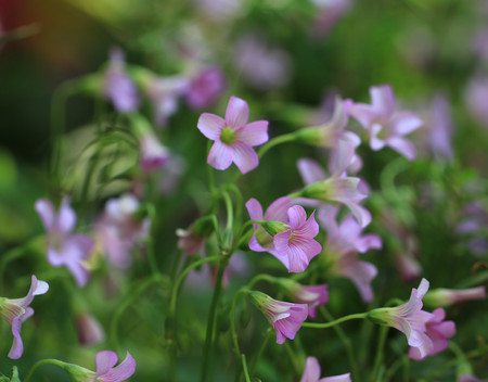Violet Wood Sorrel  Lavender Sorrel  - wild violet wood sorrel grow on the forest floor photo