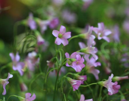 wood sorrel: Violeta Madera Sorrel Sorrel Lavender - violeta silvestre acedera crecen en el suelo del bosque Foto de archivo