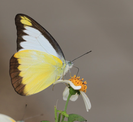 butterfly and blooming flowers , Appias lyncida eleonora