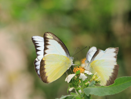 Appias lyncida eleonora ,two butterflies suck nectar together , inclusive love and sharing