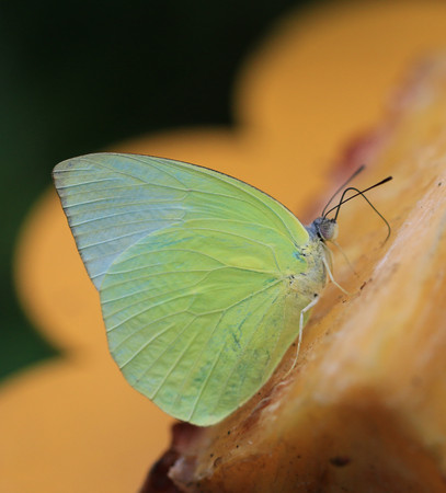 emigrant: lemon emigrant butterfly(Catopsilia pomona)is sucking pineapple juice