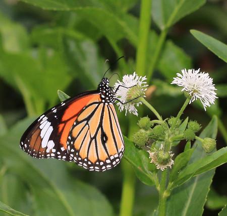 danaus:  Common Tiger, Danaus genutia, butterfly on blooming flower