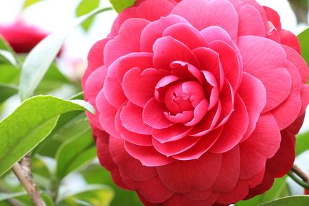 Camelia flower , red Camellia in full bloom