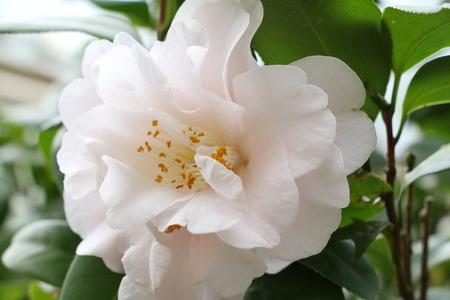 Camellia japonica ,Closeup of a white Camellia tea flower in full bloom