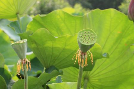 seedpod: Lotus seedpod, Lotus seedpods in the lake