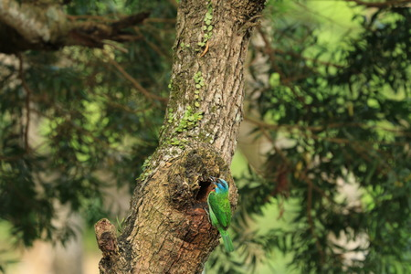 a colorful bird Mullers Barbet feeding on the tree hole photo