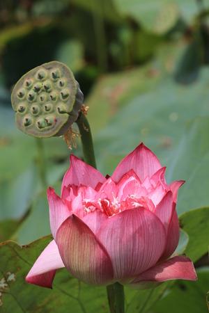 Peony Lotus, closeup of pink Peony Lotus flower and seedpod  photo
