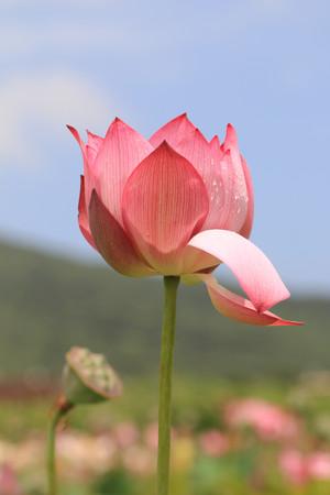 seedpod: Peony Lotus,pink Peony Lotus flower and seedpod in the lake Stock Photo