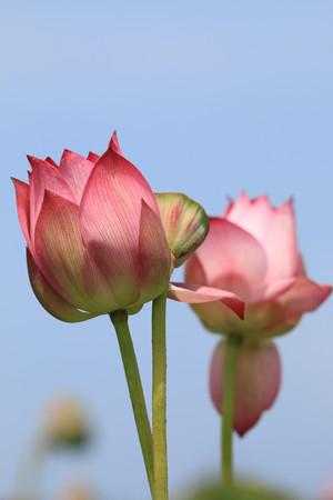 seedpod: Peony Lotus,pink Peony Lotus flowers and seedpod with blue sky