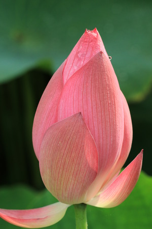 Lotus flower bud with dew in the morning sunshine photo