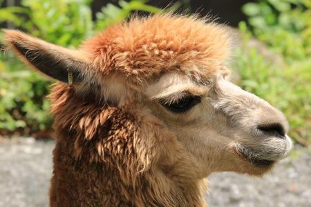 huggable: Alpaca,closeup of Alpaca head Stock Photo