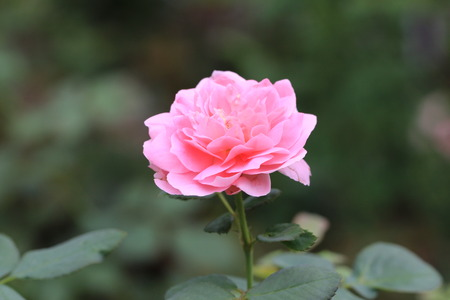 ingenious: The Ingenious Mr Fairchild Rose,pink rose blooming in the garden  Stock Photo
