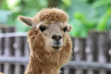 Alpaca,closeup of Alpaca head Stock Photo
