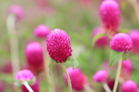 bachelor s button: flower,Bachelor s Button,Globeamaranth,peach flowers blooming in the garden