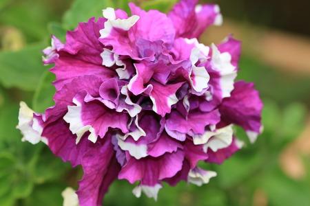 petunia wild: Common Petunia flower,purple and white Common Petunia flower blooming in the garden Stock Photo