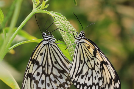 Large Tree Nymphs butterfly mating,a pair of beautiful butterflies come together to mate and continue on tradition,Paper Kite   butterfly,Rice Paper butterfly photo