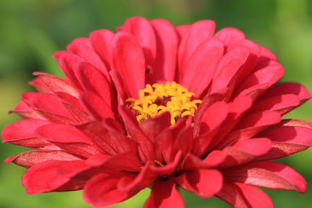 Zinnia flower,closeup of red Zinnia flower in full bloom,Youth-and-old-age flower photo