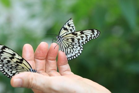 Large Tree Nymphs butterfly,two beautiful butterflies on the hand,Paper Kite butterfly,Rice Paper butterfly Stock Photo