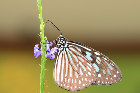 spotted flower: Blue Spotted Milkweed butterfly and flowers,a beautiful butterfly on the purple flower in garden
