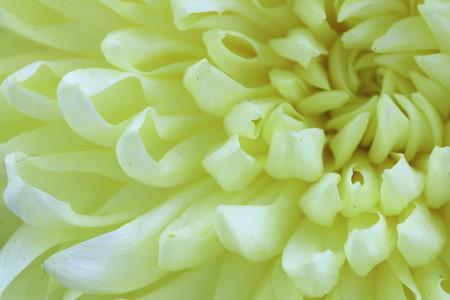 buff: Chrysanthemum flower,closeup of buff Chrysanthemum flower in full bloom Stock Photo