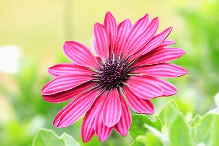 african daisy: Blue-eyed Daisy,African Daisy,Cape Daisy,Spoon Daisy,red with purple African Daisy in full bloom Stock Photo