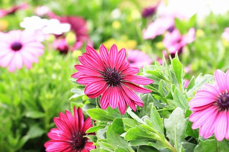 african daisy: Blue-eyed Daisy,African Daisy,Cape Daisy,Spoon Daisy,red with purple African Daisy flowers in full bloom in garden