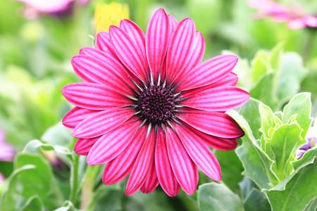 african daisy: Blue-eyed Daisy,African Daisy,Cape Daisy,Spoon Daisy,red with purple African Daisy in full bloom in garden