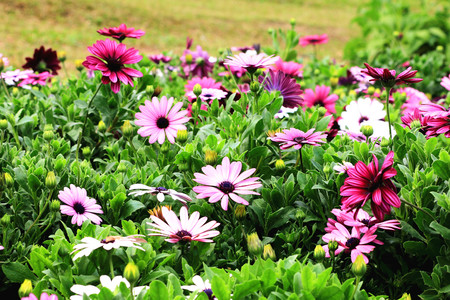african daisy: Blue-eyed Daisy,African Daisy,Cape Daisy,Spoon Daisy,red,purple and white African Daisy flowers in full bloom in the garden Stock Photo