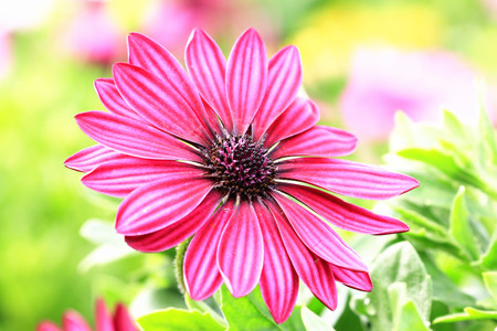 african daisy: Blue-eyed Daisy,African Daisy,Cape Daisy,Spoon Daisy,red with purple African Daisy flower in full bloom in garden