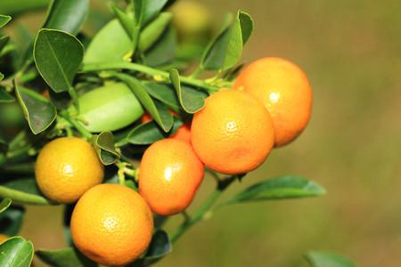 cumquat: Cumquat or Kumquat,Round Kumquat branch with ripe fruits,closeup
