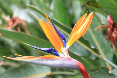 bloom bird of paradise: Bird of Paradise Flower,yellow with blue flower in full bloom,closeup