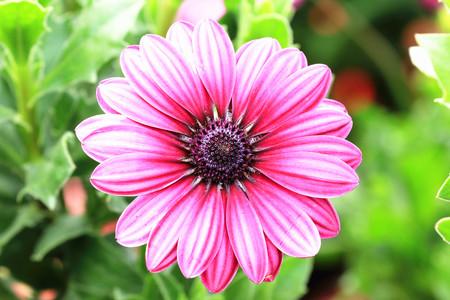 african daisy: Blue-eyed Daisy,African Daisy,Cape Daisy,Spoon Daisy,red with purple African Daisy flower in full bloom in the garden