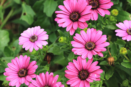 african daisy: Blue-eyed Daisy,African Daisy,Cape Daisy,Spoon Daisy,red with purple African Daisy flowers in full bloom in the garden Stock Photo