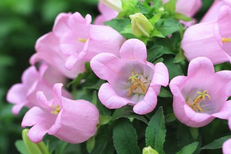 flores fucsia: Flores fucsias, hermosas flores fucsia p�rpura en plena floraci�n en el jard�n, Fucsia h�brida, Lady