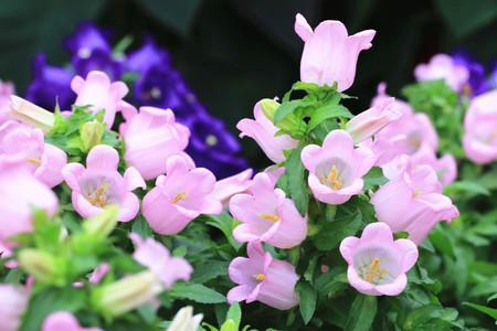 flores fucsia: Flores fucsias en flor en el jard�n