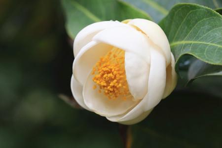 Camellia flower and raindrop,closeup of white camellia flower in full bloom with raindrop in the garden,Camellia amplexicaulis Cohen Stuart