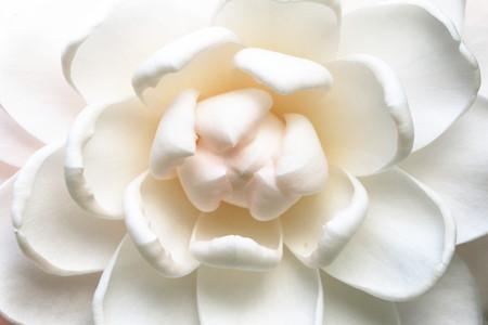 Camellia flower,closeup of white camellia flower in full bloom in the garden