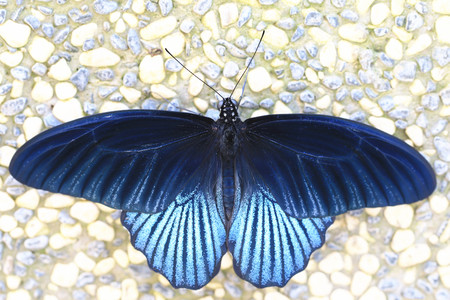 Great Mormon butterfly,a beautiful great mormon butterfly on the stone ground in garden photo