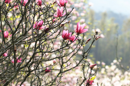 magnolia tree: Lotus-flowered Magnolia,Large-flowered Magnolia,many beautiful red flowers and buds blooming in the countryside,Southern Magnolia,Loblolly Magnolia
