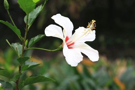 china rose: Chinese Hibiscus,China Rose,beautiful white with red flower in full bloom in the garden in spring